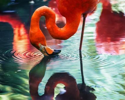 This is a photo of a flamingo reflecting its self n the pond water.
