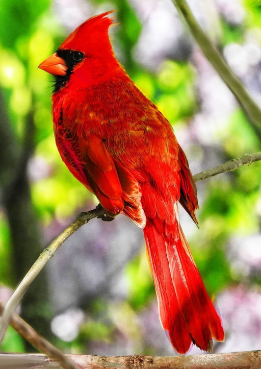 This is a photo of a red cardinal bird sitting on a branch of a tree