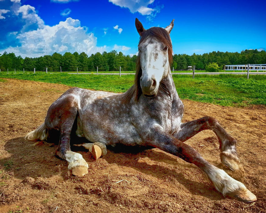 Laying Horse
