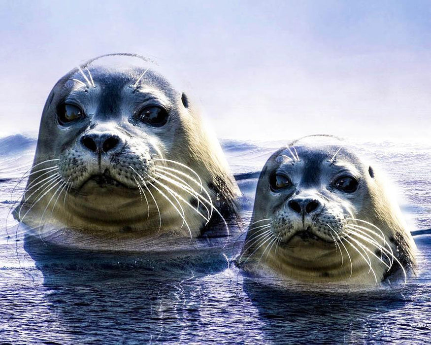 Two Seal Heads