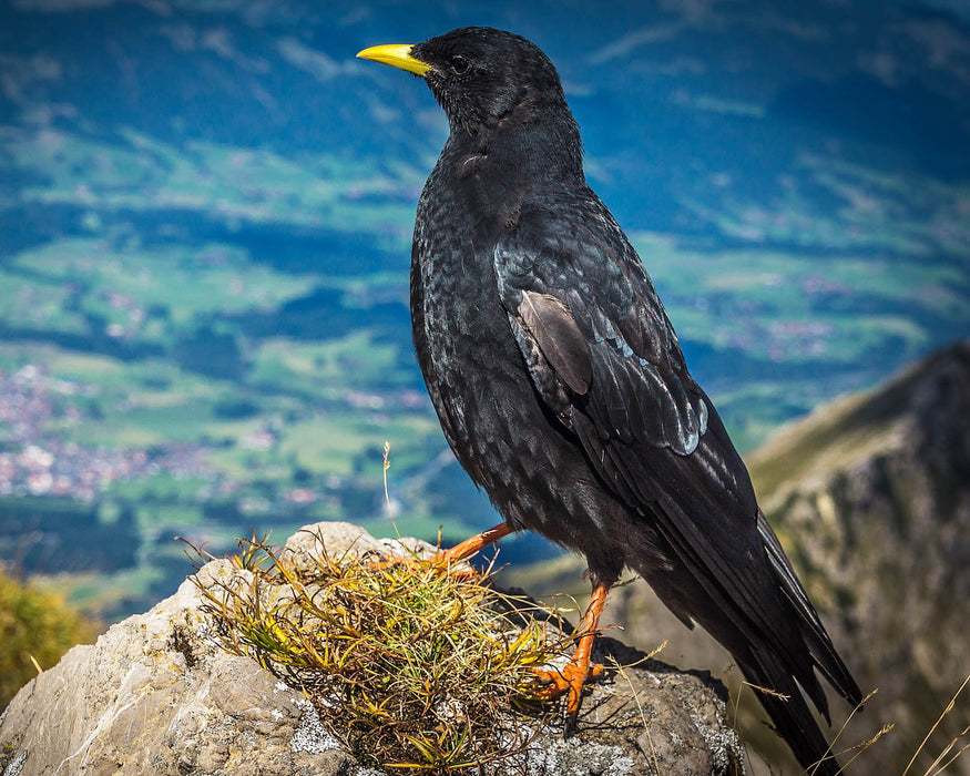 This is a  photo of a crow on a rock overlooking