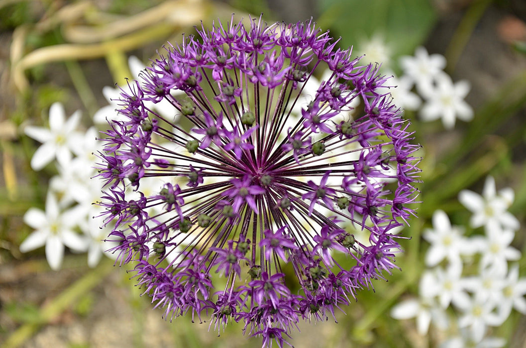 Purple Flower Burst 1