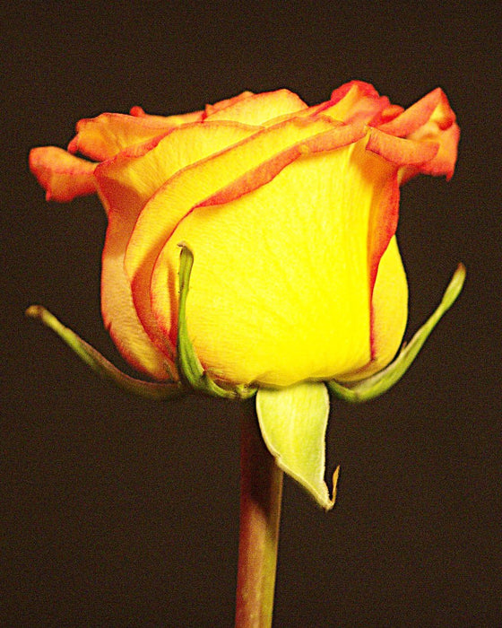 Yellow Rose Stem