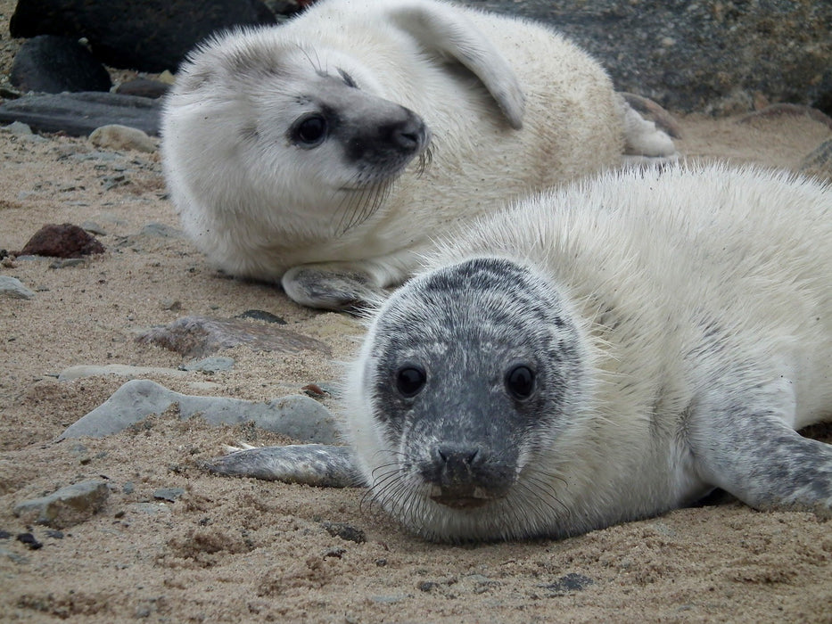 Two Seals 1