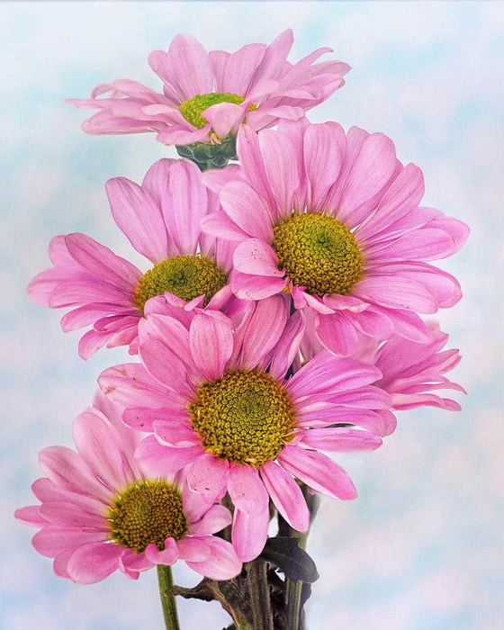 This is a photo of 5 pink daisies in white background.