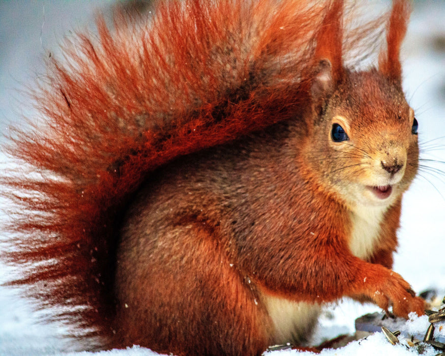 This is a photo of a brown squirrel on a snow