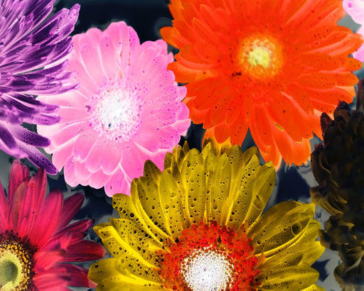 This is a photo of Pink, Orange, Yellow, Red and Purple Malaysian mums