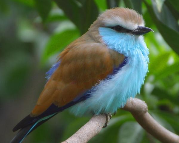 Blue Breasted Bird