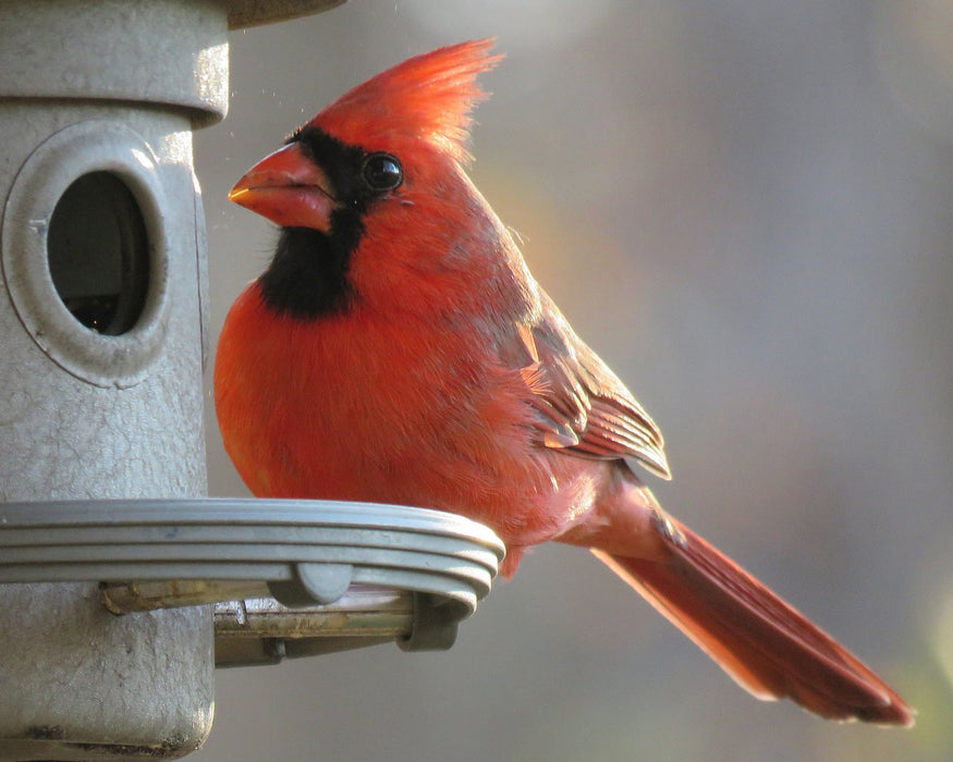 This is a photo of a Cardinal on a Bird Feeder