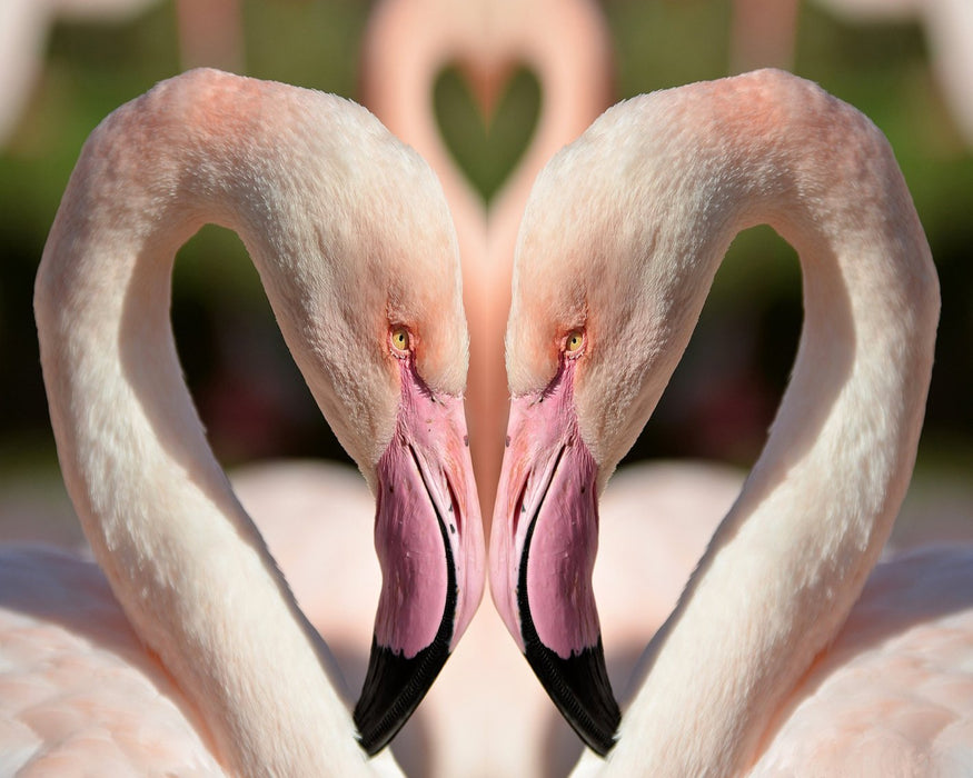 This is a photo of a two pink flamingoes forming a heart with their heads.