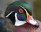 This is a photo (close up shot) of a duck with a green feathers and a white stripe with red eye and red beak
