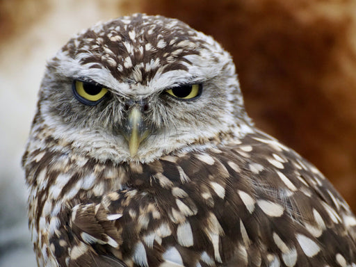 This is a photo of an angry brown owl