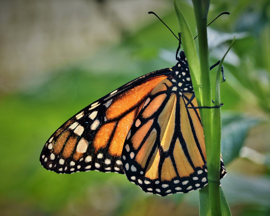 This is a photo of a Monarch Butterfly on a leaf