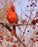 Cardinal in Berry Tree