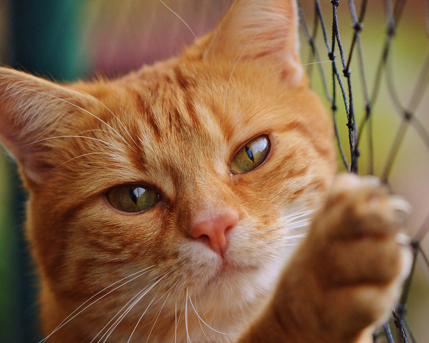 This is a photo (close up shot) of a yellow cat climbing in a net