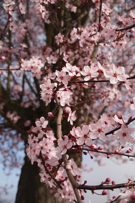 This is a photo of a cherry blossom tree