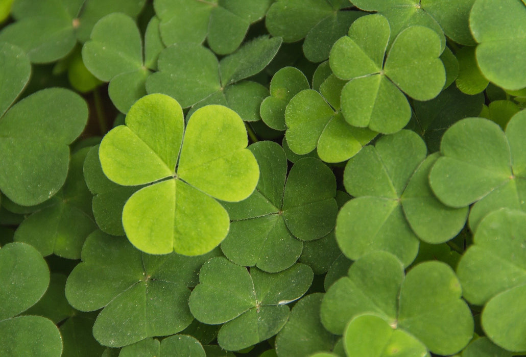 This is a photo (close up shot) of four leaf clovers