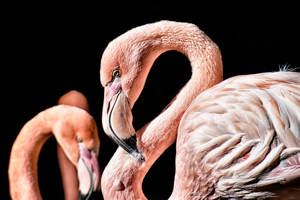 Two Flamingos on Black