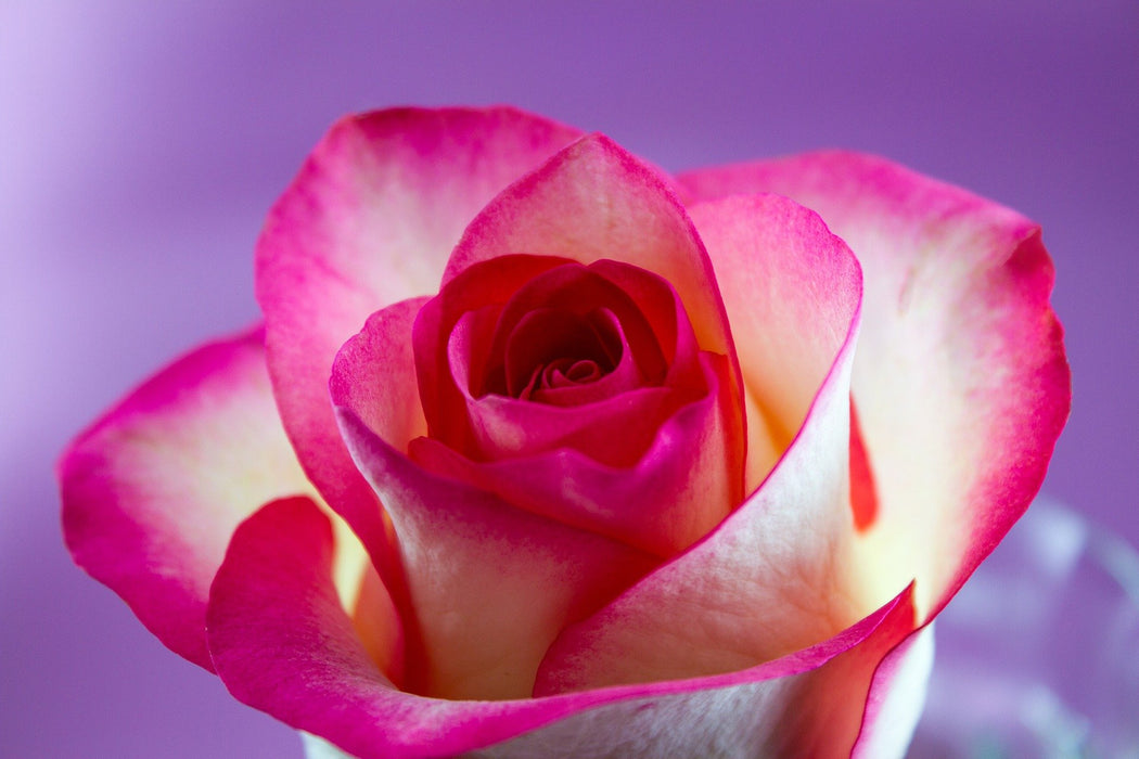 Pink Rose on Purple