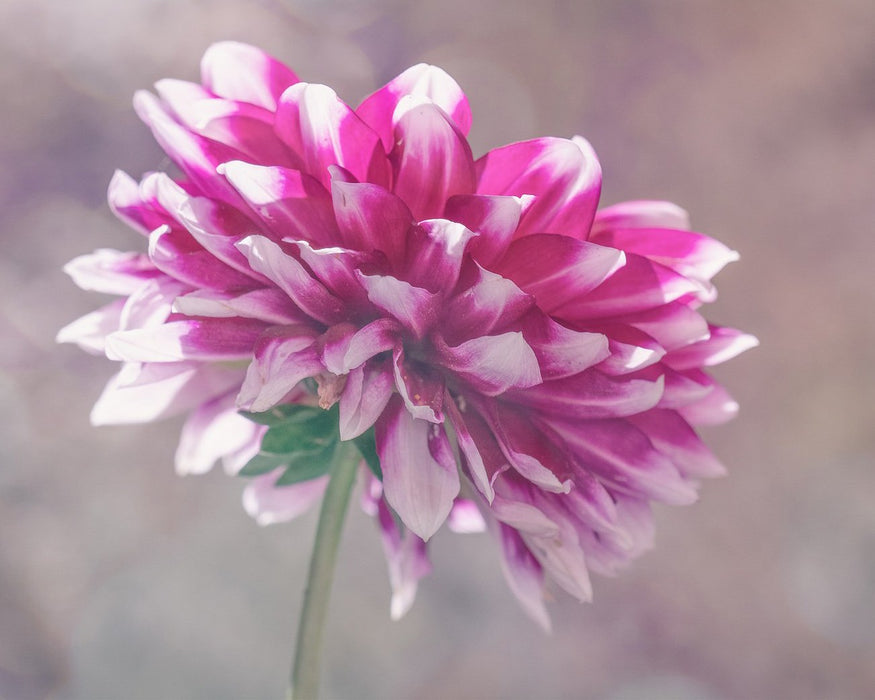 This is a photo of a dahlia flower