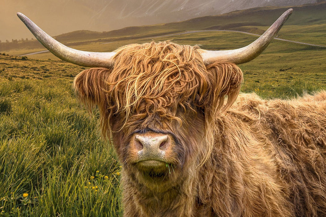 Horned, Hairy Cow 3