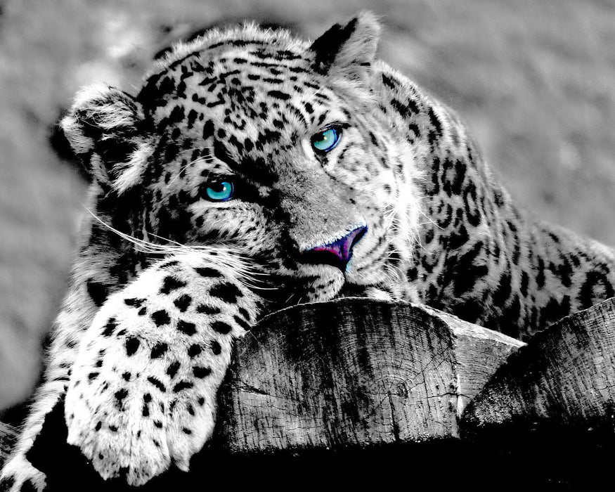 This is a photo of a leopard in black and white with teal blue eyes.