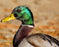 This is a photo of a Mallard