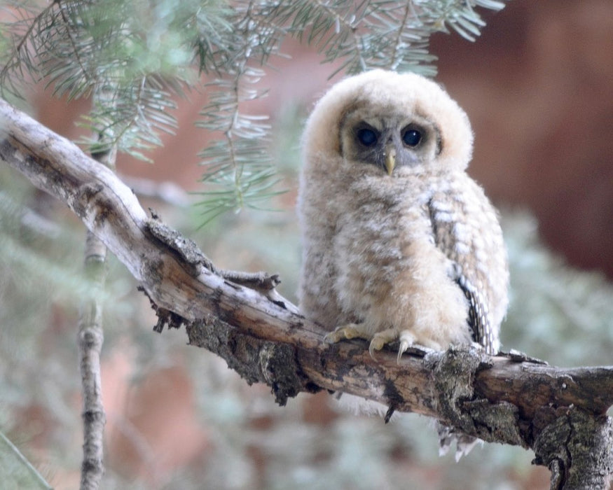Fluffy White Owl