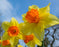 This is a photo of daffodil with beautiful yellow and orange color on a bright sunny day.