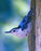 This is a photo of a Blue bird walking on a tree