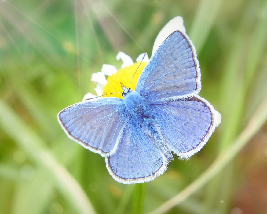 This is a photo of a Blue Butterfly on a Yellow flower