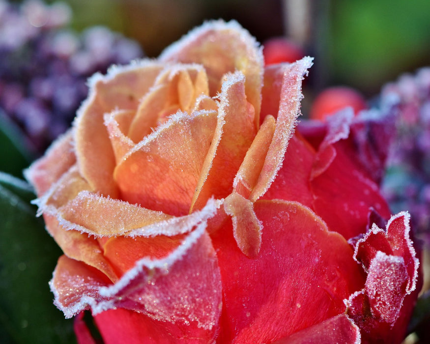 This is a photo of a red and orange icy-petaled rose