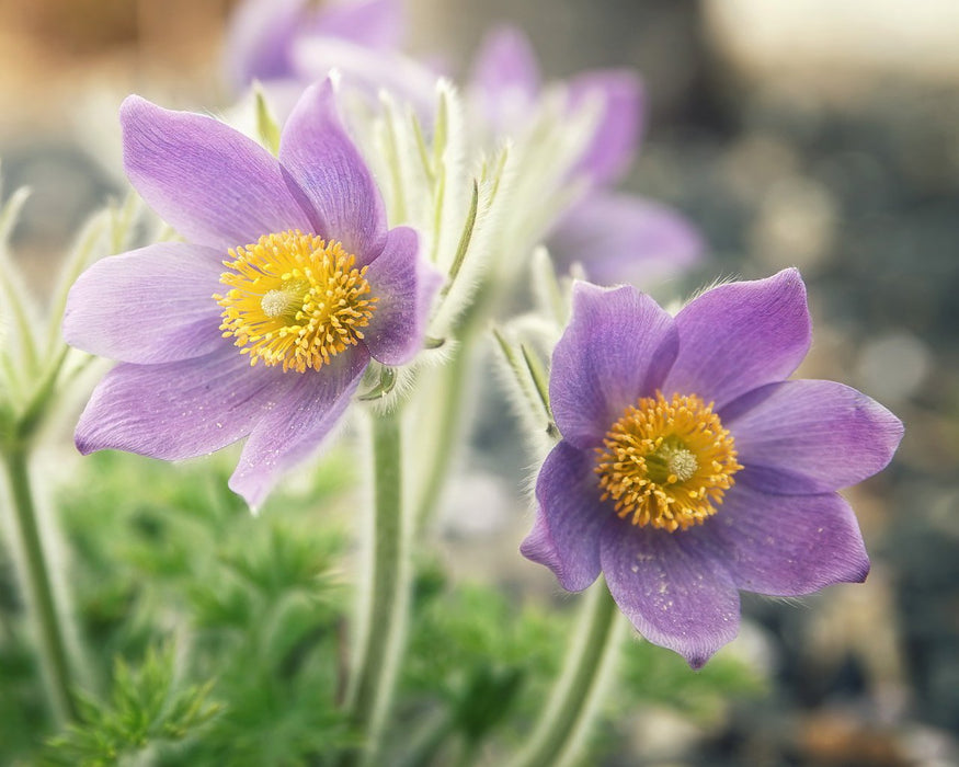 Two Light Purple Flowers