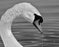 Black & White Swan Head