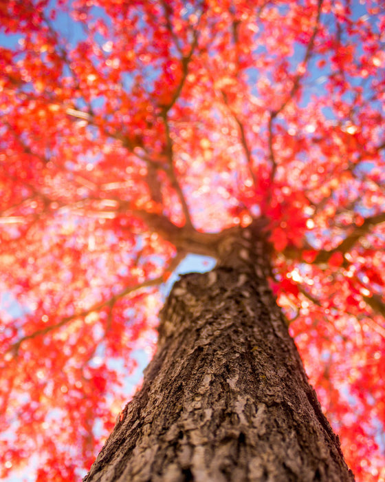 This is a photo of a red tree viewed from below.