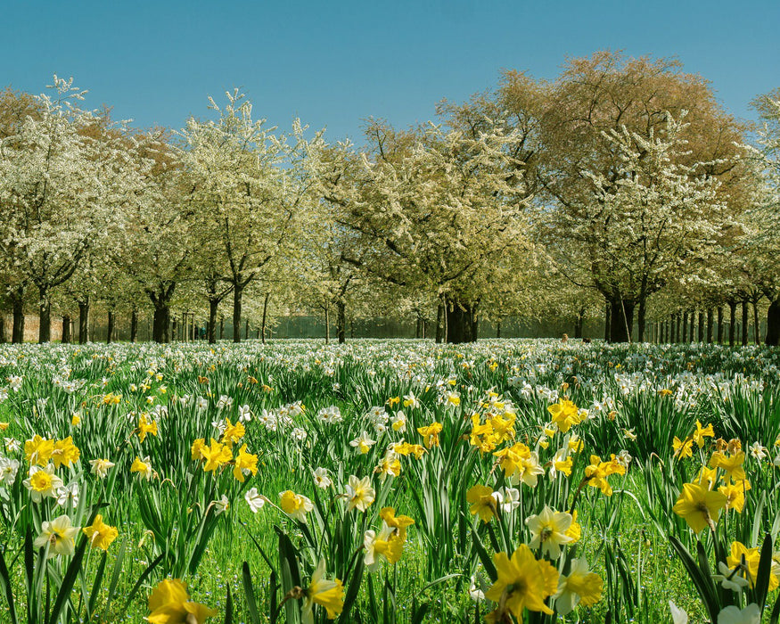 This is a photo of white and yellow daffodil fields with trees on the back that has white flowers.