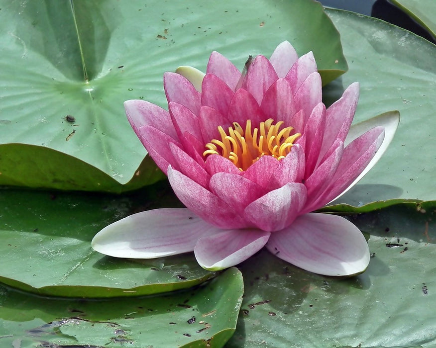 Light Pink Lily Flower