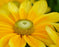 This is a close up photo of a flat yellow flower