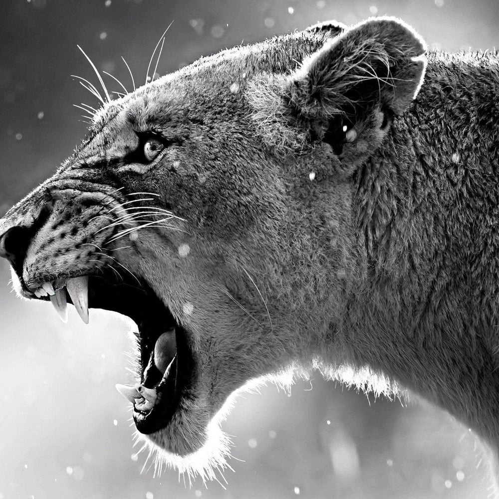 This is a photo of a lioness with open mouth in a black and white scale.