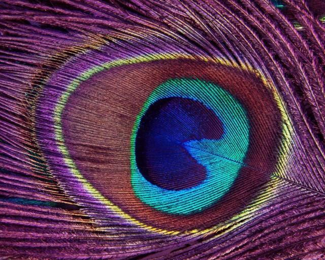 This is a photo (close up shot) of a violet feather of an peacock.