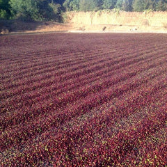 Brazil Cup of Excellence Lot 30: Fazenda do Brejinho Natural Mundo Novo