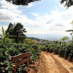 Costa Rica Finca Licho Yellow Honey Villa Sarchi