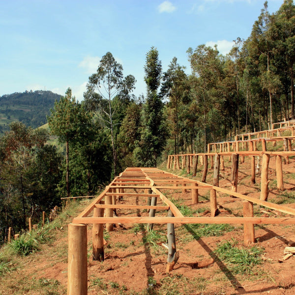 Raised coffee beds at the Mblimia Farm Mill in Rwanda | Hasbean.co.uk