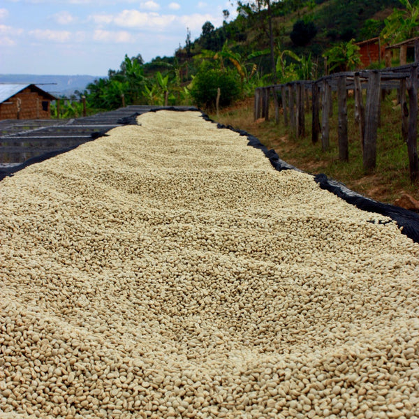Coffee drying at the Mblimia Farm Mill in Rwanda | Hasbean.co.uk