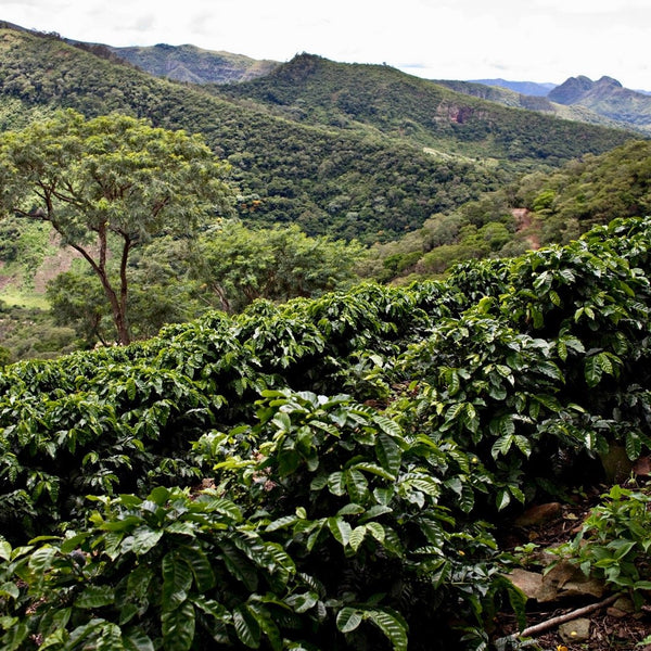 Finca El Fuerte. Santa Cruz, Florida, Bolivia. Hasbean.co.uk