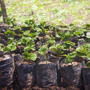 New plant stock nursery. Naranjo de Alajuela, Alajuela, Western Valley, Costa Rica. Hasbean.co.uk