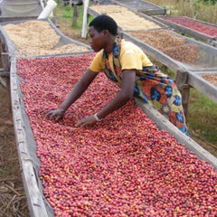 Burundi Mutara Hill Natural Red Bourbon