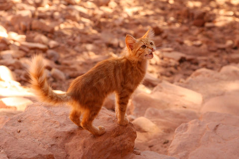 Cat in desert