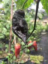 Load image into Gallery viewer, Black Tiger (Pepper Seeds)