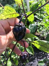 Load image into Gallery viewer, M.A.M.P. Black BerryGum (Pepper Seeds)